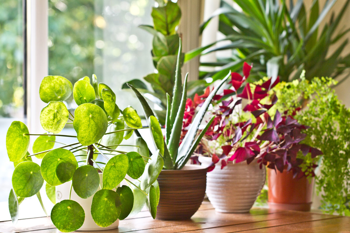 Best Indoor Plants For Clean Air Filters Purifiers